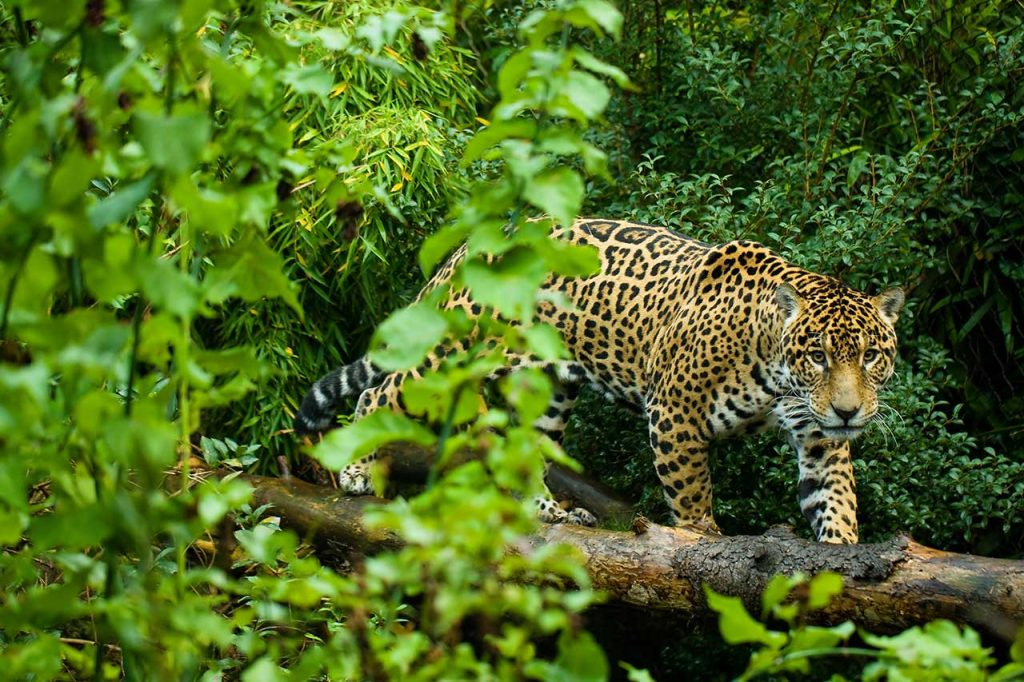 Jaguar Darien Gap